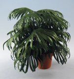 Chinese Fan Palm One-inch scale