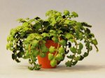 Ivy in a Terra Cotta Pot One-inch scale