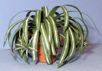 Spider Plant in a Terra Cotta Pot One-inch scale